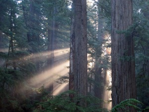 Sun filters through the Cathedral-like coast redwood forest of Jedediah Smith Redwoods State Park. Photo by Stephen Sillett.