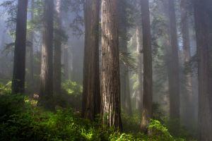 Coast Redwood photo by Daniel R. Hadley.