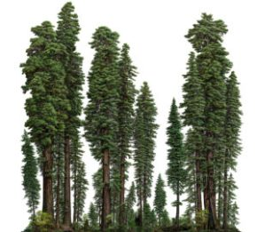 Ancient Coast Redwood Forest Breaks Records