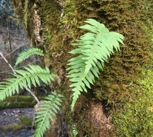 licorice-ferns-3-300x270