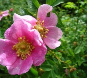 Coast Redwood Forest's Native Rose
